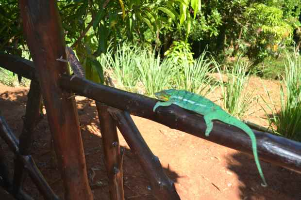 A male chameleon sunning on the porch.